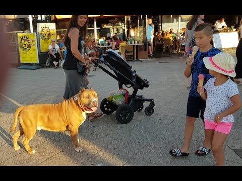 How people react when a 150 lbs Pitbull walking through at Scheveningen boulevard