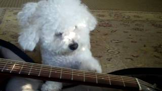 Moose The Maltipoo - Dog Tricks Part Iii (playing Guitar)