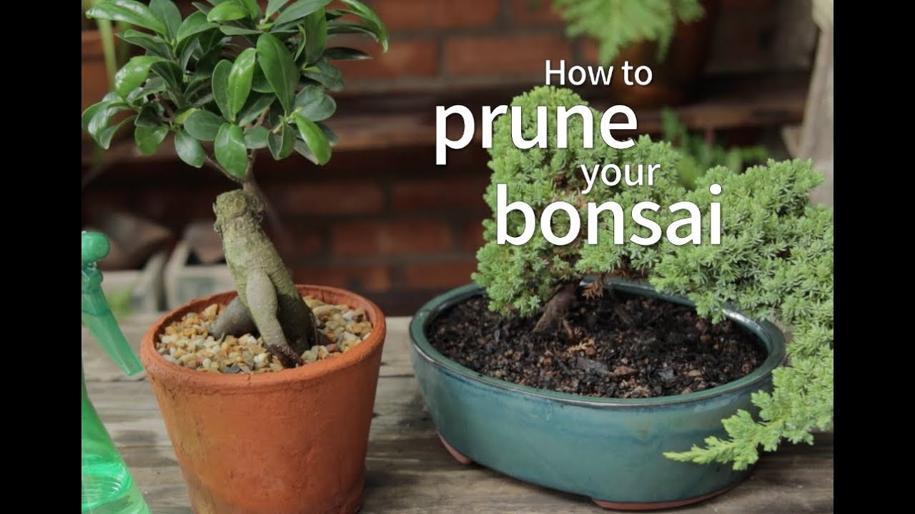 Bonsai Basics How To Prune Your Bonsai Youtube