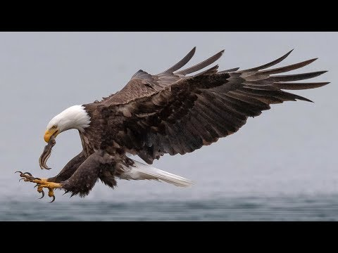 Insane Bald Eagle Bird In Flight FIGHTING Photography With Nikon D850 & 500MM F4