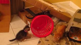 Милі Кошенята Грають В Кошику Пральня Та Нападу На Перо Мотузка Іграшка - 6 Тижнів