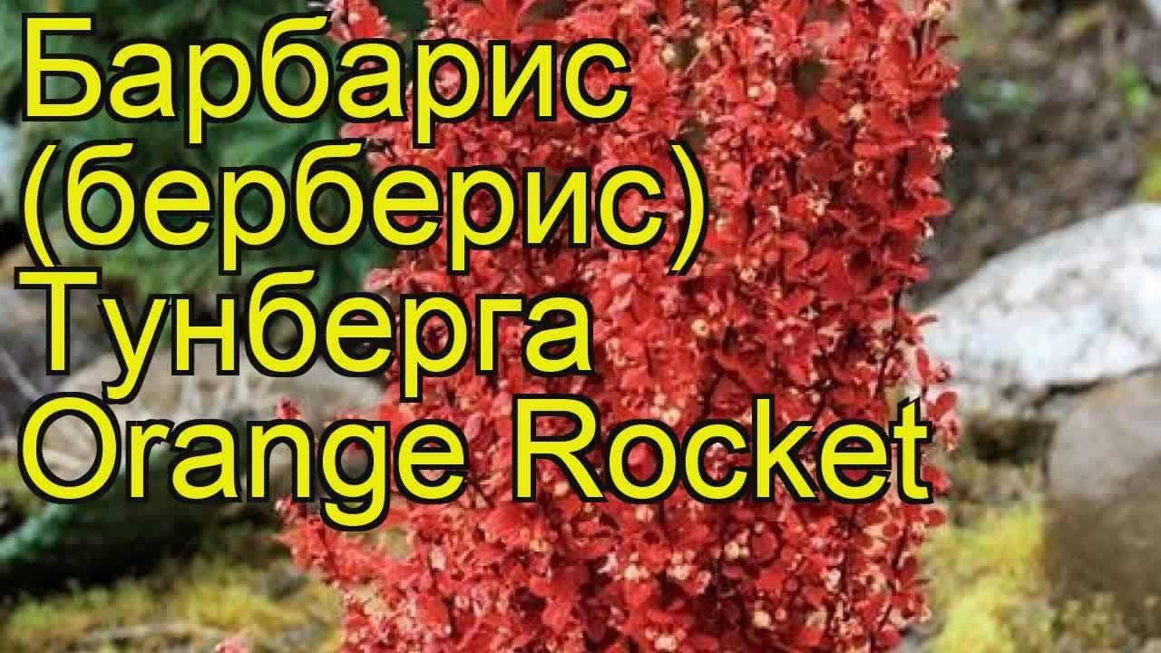 барбарис оранж рокет фото