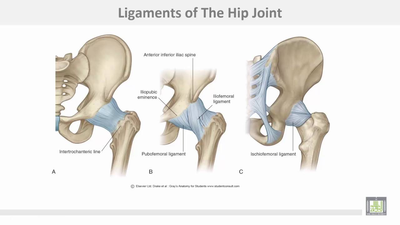 Anatomy 1 C4 L3 Hip Joint Youtube