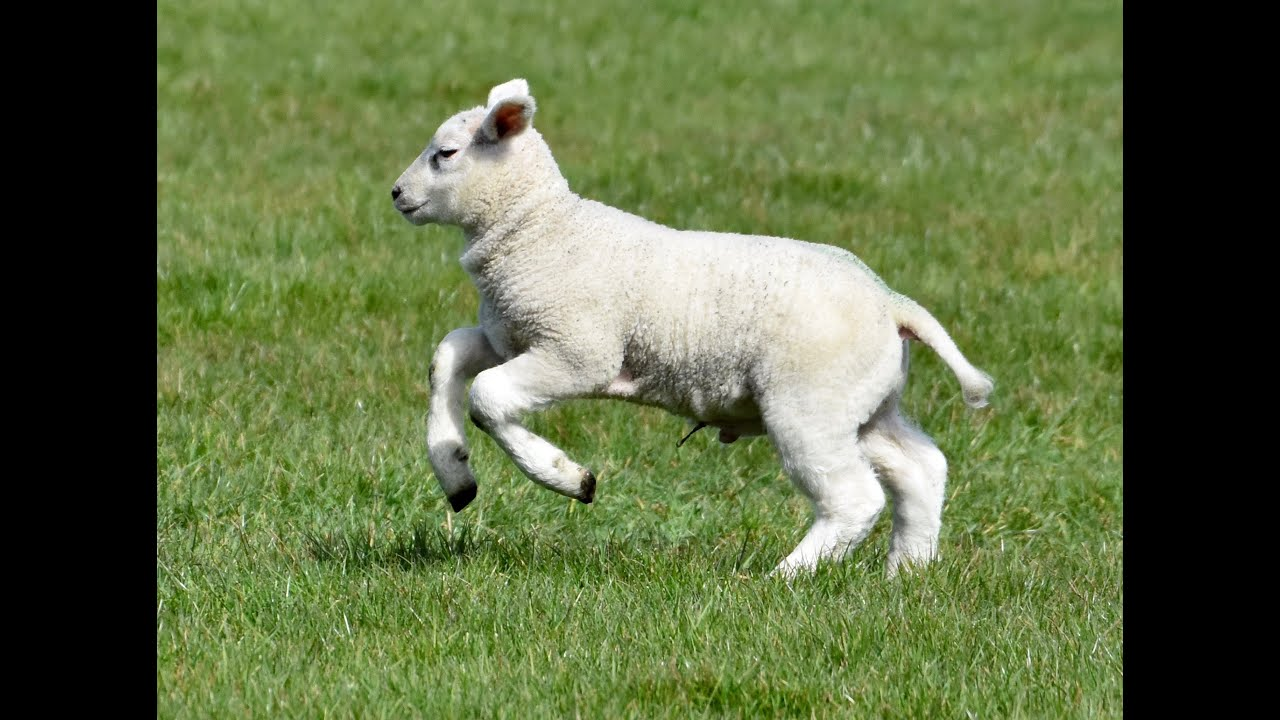 Happy Lambs Playing in the Pasture - YouTube