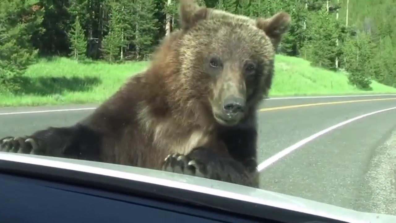 do black bears attack humans - 1280×720