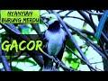 Burung Jalak Suren Gacor Kicau Burung  Mp3 - Mp4 Download