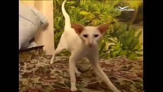Лапы и хвост 24.07.2016. Сиамские и ориентальные кошки