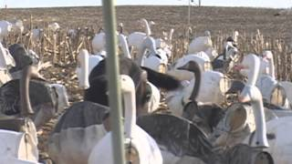 Missouri snow goose hunting, Learning to fly