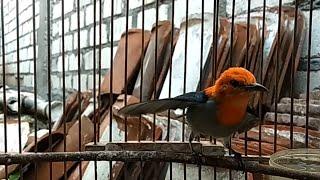 Kemade Tarung GACOR Buka Sayap , MENTAL BAJA Lawan Sepadan Prenjak & CIBLEK | Masteran Burung Kecil