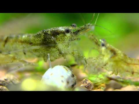 Tropical Shrimp for Freshwater Aquariums