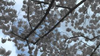 2012 Cherry Blossom Trees in Washington DC : Mood Music Video By Jolene