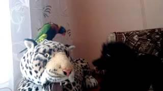 Малый пудель Гуффи 4,5 месяцев играет с попугаем лорикет