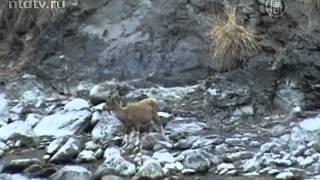Винторогих козлов спасают от вымирания в Пакистане