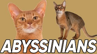 4 Fantastic Facts About Abyssinians