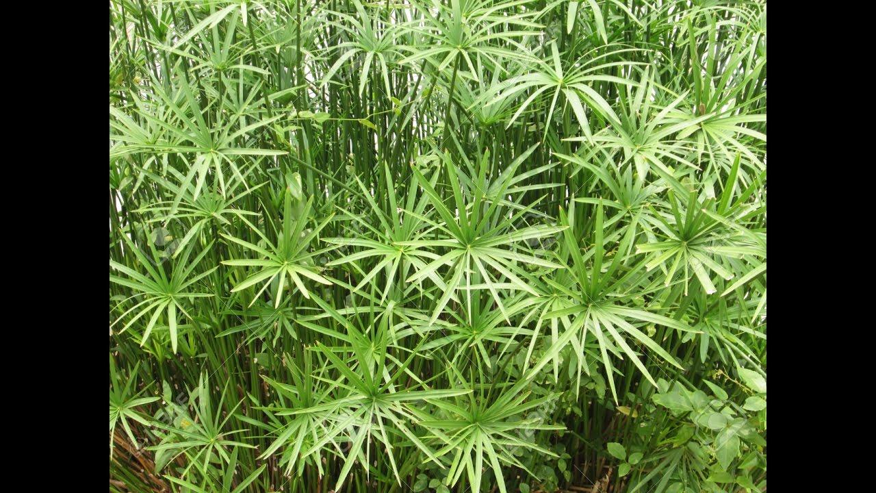 Papiro en el estanque planta acu tica paraguitas for Plantas para estanque exterior