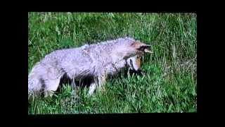 ロッキーの森と草原~北米・イエローストーン国立公園~