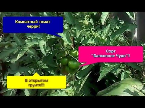 Комнатный Томат черри сорт Балконное Чудо в открытом грунте