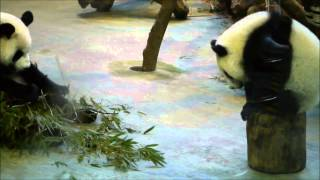 2014.8.26調皮的圓仔(The Naughty and Funny Giant Panda Cub Yuan-Zai)