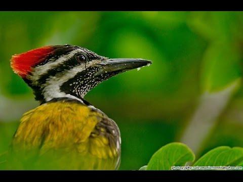 Masteran Kicau Burung Pelatuk bawang (Dinopium javanense) / Common Flameback / Common Goldenback