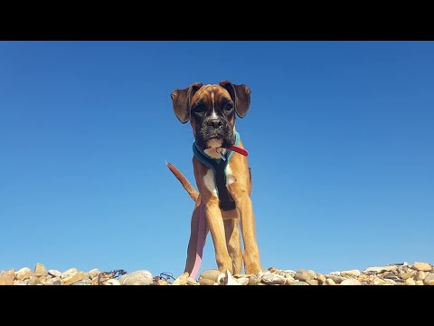 Bonnie the 5 month old Boxer Puppy - 2 Weeks Residential Dog Training