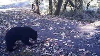 Bear Eats Deer Ribs