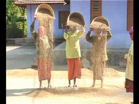 Threshing Navara, the medicinal paddy