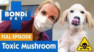 Puppy Eats Toxic Mushroom In Coronavirus Isolation | FULL EPISODE | Bondi Vet