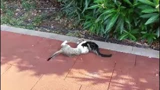 Adorable kittens playing together | Too Cute