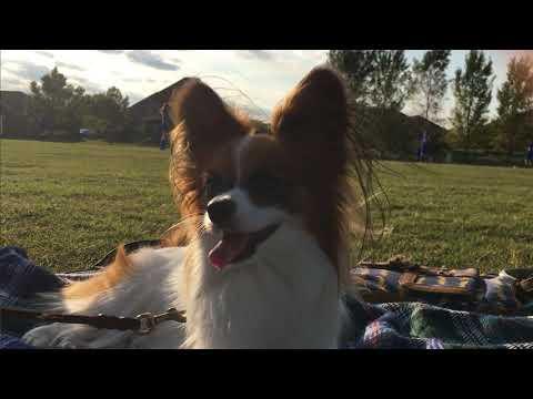 Randomly Cute Papllon Things #4. Percy the Papillon Dog