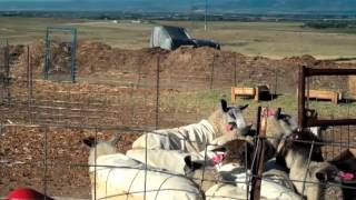 Raising Sheep & Goats For Profit - Full Version