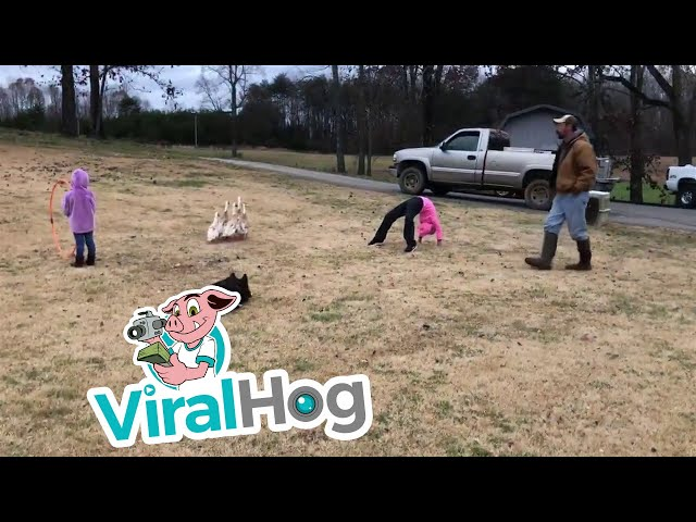 Dogs Lead Ducks Through Tricky Obstacle Course || ViralHog