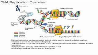 This video gives an overview on dna replication and explains what the semi conservative method of is. additionally, ...