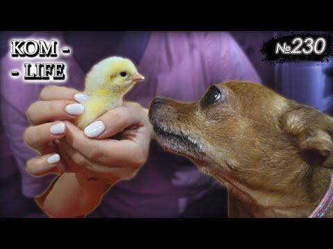 🐤 Первый цыплёнок и плов