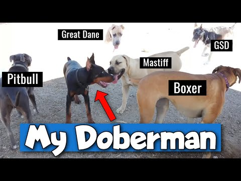 Doberman Pinscher at the Dog Park  AWESOME!