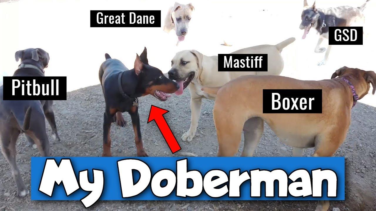 Doberman Pinscher at the Dog Park - AWESOME!