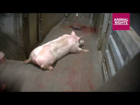 Animal Rights filme les maltraitances des cochons dans l'abattoir de Tielt