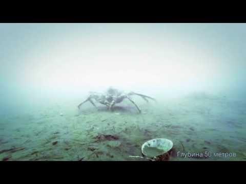 Погружение на дно залива Петра великого. Паук камчатский и камбала. ГЛУБИНА 50 МЕТРОВ