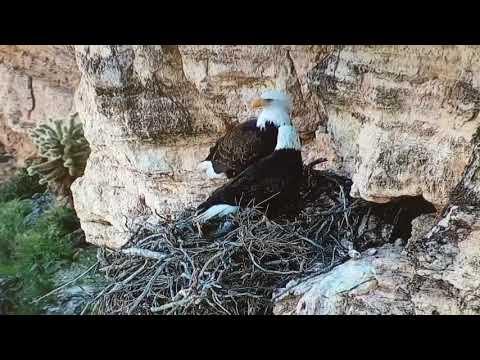 Live Streaming Arizona Bald Eagle Nest Webcam | HDOnTap.com