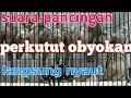 Suara Pancingan Perkutut Obyokan  Mp3 - Mp4 Download