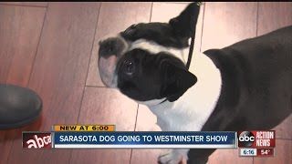Bruno the Boston Terrier heads to Westminster Dog Show