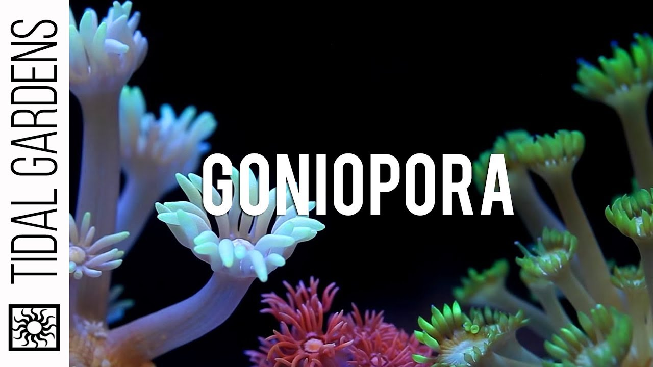 Goniopora flowerpot coral impossible youtube goniopora flowerpot coral impossible mightylinksfo