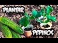 Cómo Plantar Pepinos