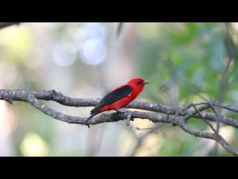 Scarlet Tanager - Middlesex, MA