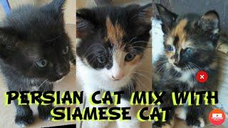 Persian Cat Mix Siamese Cat