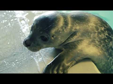 All'Acquario di Genova è nato un cucciolo di foca