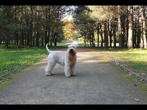 Autumn evening walk with Soft-coated Wheaten Terrier