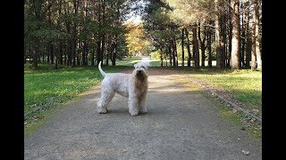 Autumn evening walk with Softcoated Wheaten Terrier