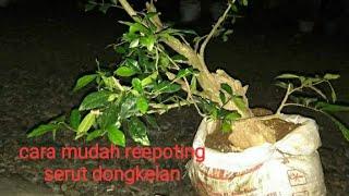 Video Tips Reepoting serut sterbluss bonsai from hunting trees download MP3, 3GP, MP4, WEBM, AVI, FLV Agustus 2018