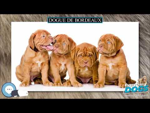 Dogue de Bordeaux  Everything Dog Breeds