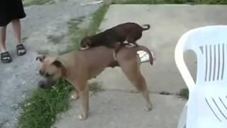 Маленькая собачка трахает большую!! Очень забавно!! Просто смех!!